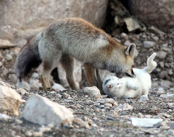 Αλεπού και γάτα έγιναν αχώριστες φίλες (1)