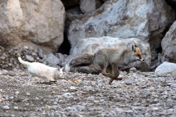 Αλεπού και γάτα έγιναν αχώριστες φίλες (2)