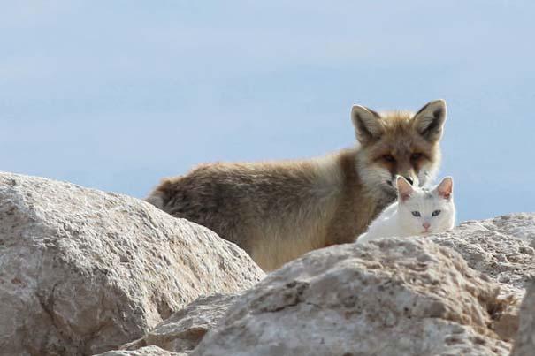 Αλεπού και γάτα έγιναν αχώριστες φίλες (3)