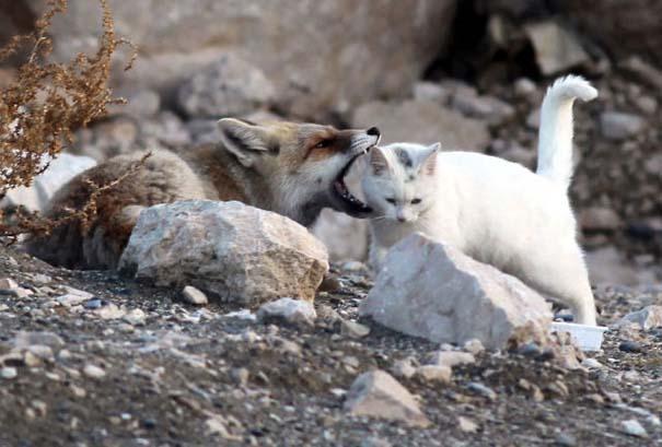 Αλεπού και γάτα έγιναν αχώριστες φίλες (4)