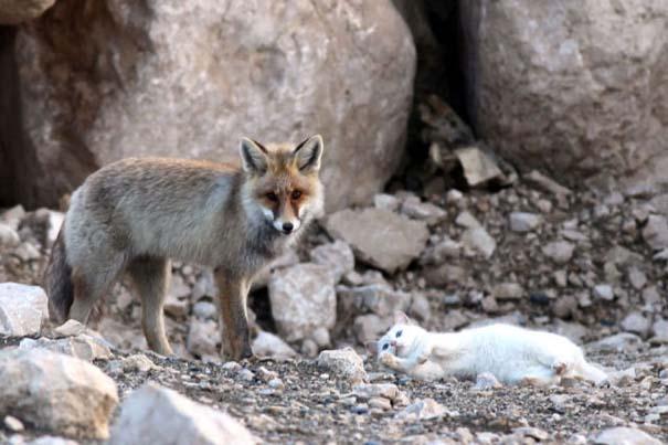 Αλεπού και γάτα έγιναν αχώριστες φίλες (5)