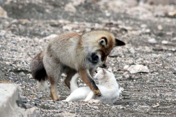 Αλεπού και γάτα έγιναν αχώριστες φίλες (6)