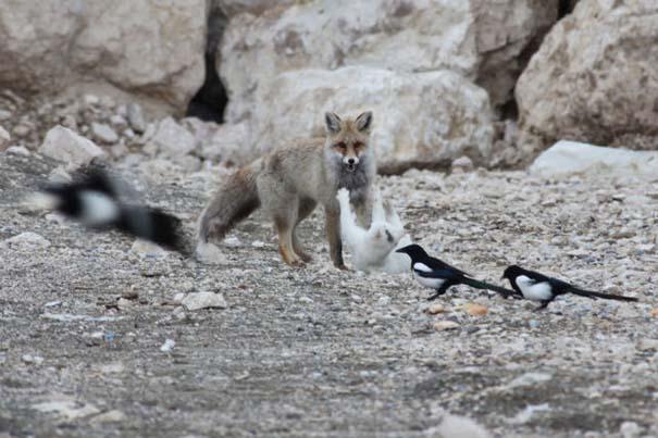 Αλεπού και γάτα έγιναν αχώριστες φίλες (8)