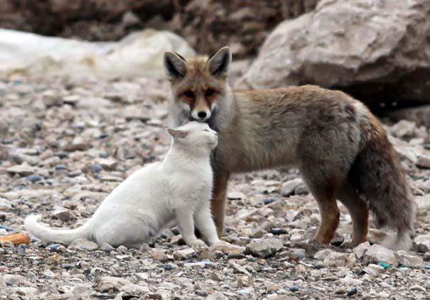 Αλεπού και γάτα έγιναν αχώριστες φίλες (9)