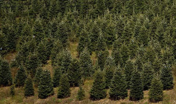 Πως γίνεται η καλλιέργεια και συγκομιδή των Χριστουγεννιάτικων Δέντρων (1)