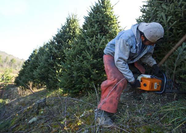 Πως γίνεται η καλλιέργεια και συγκομιδή των Χριστουγεννιάτικων Δέντρων (3)