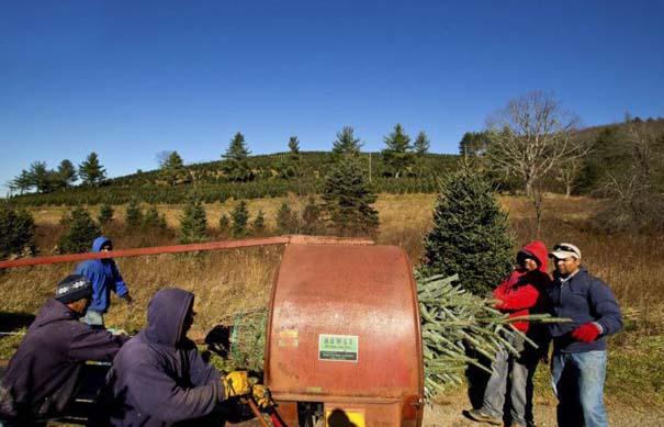 Πως γίνεται η καλλιέργεια και συγκομιδή των Χριστουγεννιάτικων Δέντρων (6)