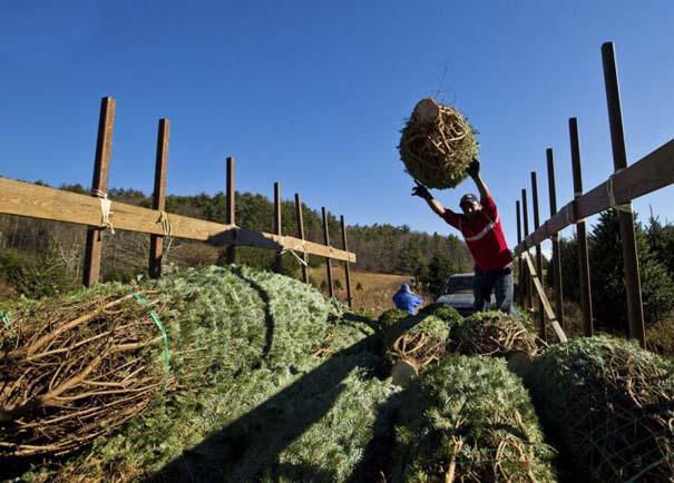 Πως γίνεται η καλλιέργεια και συγκομιδή των Χριστουγεννιάτικων Δέντρων (7)