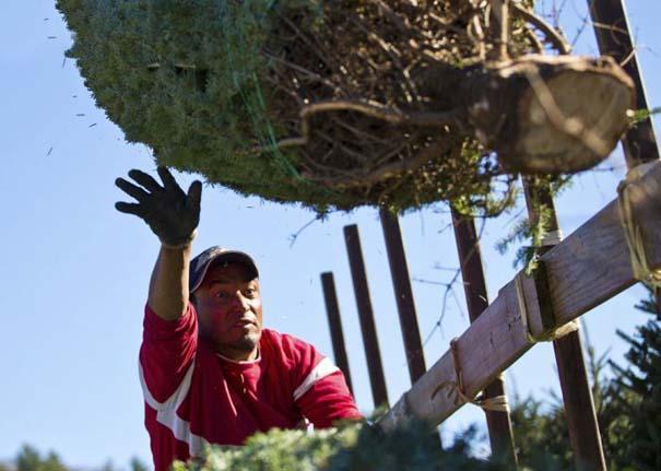 Πως γίνεται η καλλιέργεια και συγκομιδή των Χριστουγεννιάτικων Δέντρων (8)