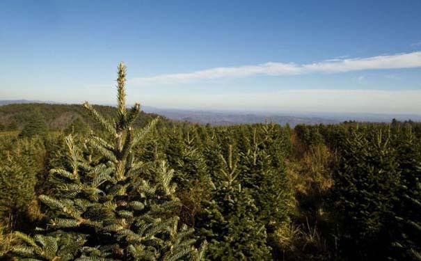 Πως γίνεται η καλλιέργεια και συγκομιδή των Χριστουγεννιάτικων Δέντρων (10)