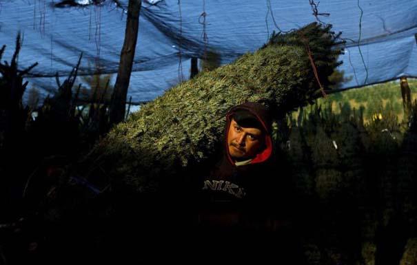 Πως γίνεται η καλλιέργεια και συγκομιδή των Χριστουγεννιάτικων Δέντρων (11)