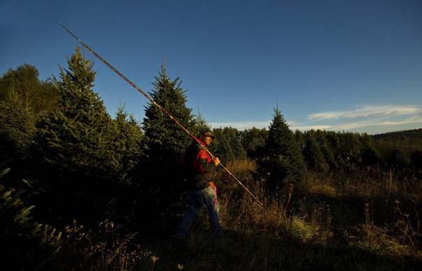 Πως γίνεται η καλλιέργεια και συγκομιδή των Χριστουγεννιάτικων Δέντρων (13)