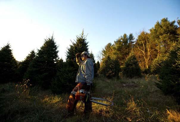 Πως γίνεται η καλλιέργεια και συγκομιδή των Χριστουγεννιάτικων Δέντρων (14)