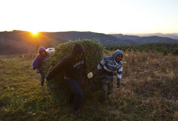 Πως γίνεται η καλλιέργεια και συγκομιδή των Χριστουγεννιάτικων Δέντρων (16)