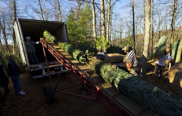 Πως γίνεται η καλλιέργεια και συγκομιδή των Χριστουγεννιάτικων Δέντρων (19)