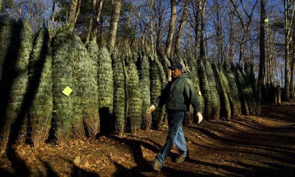 Πως γίνεται η καλλιέργεια και συγκομιδή των Χριστουγεννιάτικων Δέντρων (21)