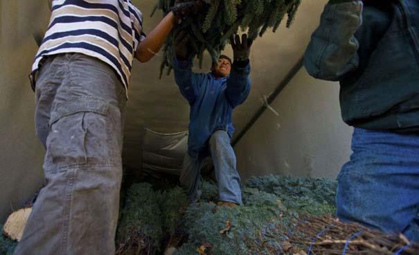 Πως γίνεται η καλλιέργεια και συγκομιδή των Χριστουγεννιάτικων Δέντρων (23)