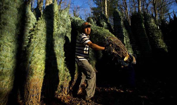 Πως γίνεται η καλλιέργεια και συγκομιδή των Χριστουγεννιάτικων Δέντρων (24)