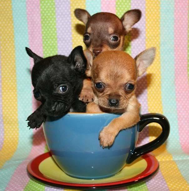 Μικροσκοπικά σκυλιά (3)