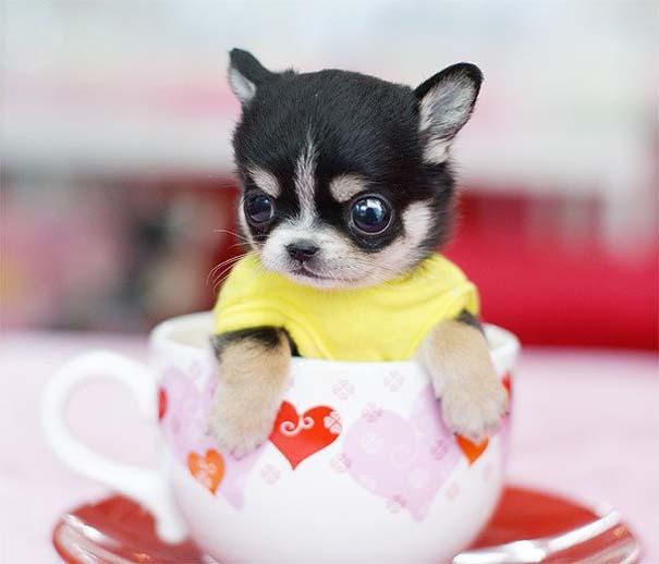 Μικροσκοπικά σκυλιά (7)