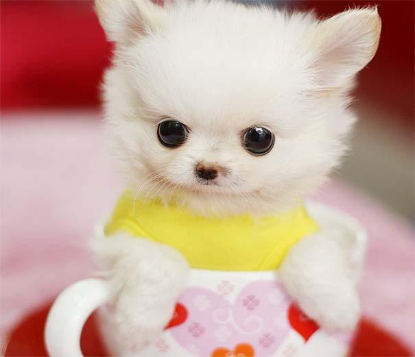 Μικροσκοπικά σκυλιά (10)