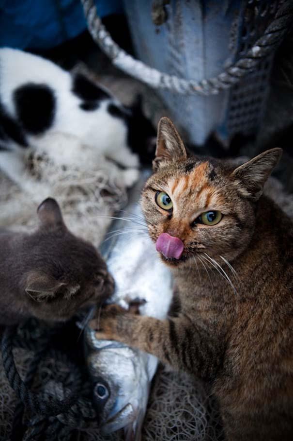 Το νησί παράδεισος για γάτες στην Ιαπωνία (18)