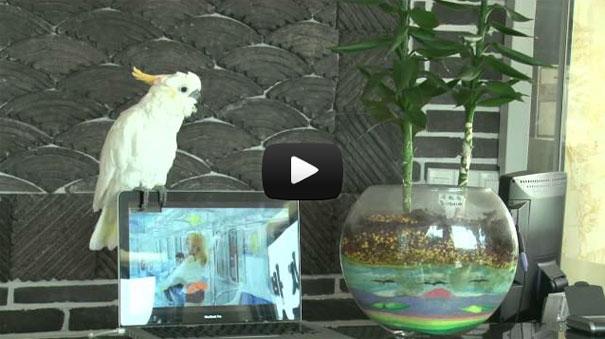 Παπαγάλος τραγουδάει Gangnam Style