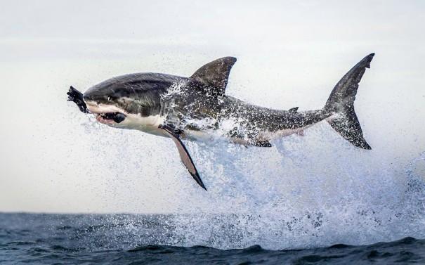Ιπτάμενος Καρχαρίας   Φωτογραφία της ημέρας
