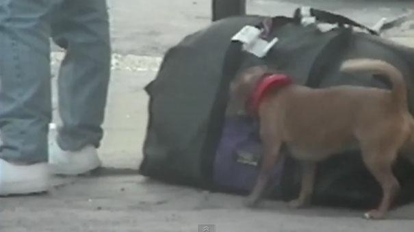 Σκύλος πορτοφολάκιας