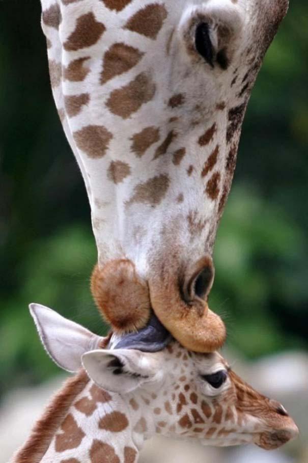 Ζώα με τα μικρά τους (9)
