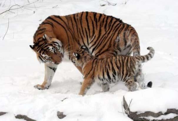 Ζώα με τα μικρά τους (54)