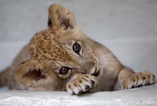 Οι πιο αξιολάτρευτες φωτογραφίες με μωρά ζώων του 2012 (5)