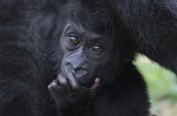 Οι πιο αξιολάτρευτες φωτογραφίες με μωρά ζώων του 2012 (15)