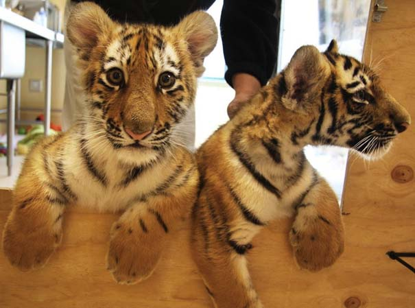 Οι πιο αξιολάτρευτες φωτογραφίες με μωρά ζώων του 2012 (26)