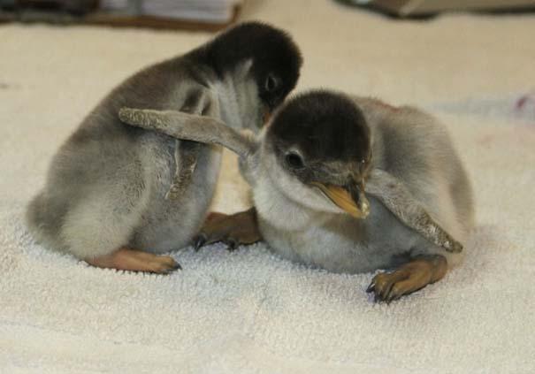 Οι πιο αξιολάτρευτες φωτογραφίες με μωρά ζώων του 2012 (27)