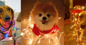 Σκύλοι που νομίζουν ότι είναι Χριστουγεννιάτικα δέντρα