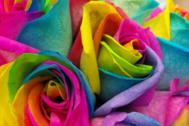Τριαντάφυλλα - ουράνιο τόξο (1)
