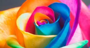Τριαντάφυλλα – ουράνιο τόξο (Video)