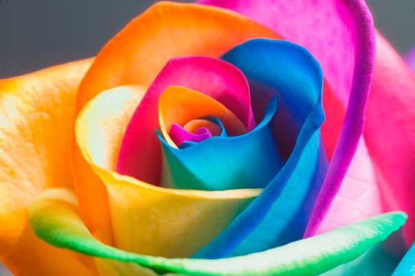 Τριαντάφυλλα - ουράνιο τόξο (2)