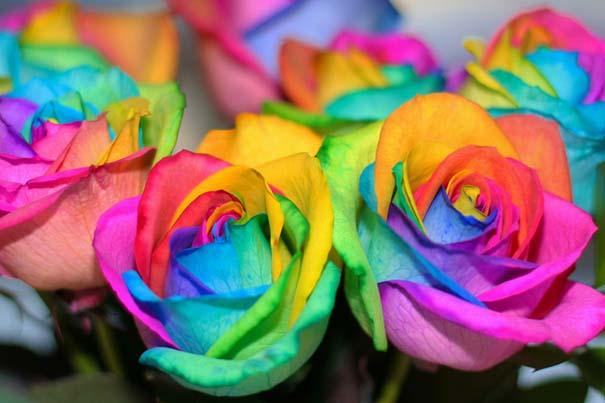 Τριαντάφυλλα - ουράνιο τόξο (3)