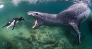 Η άγρια πλευρά της φύσης: Φώκια λεοπάρδαλη επιτίθεται σε πιγκουίνο