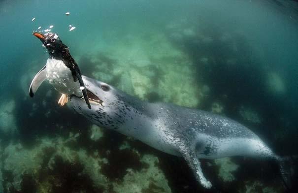 Φώκια λεοπάρδαλη επιτίθεται σε πιγκουίνο (4)
