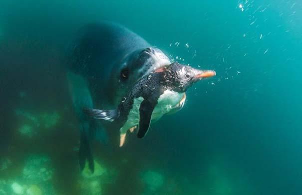 Φώκια λεοπάρδαλη επιτίθεται σε πιγκουίνο (5)