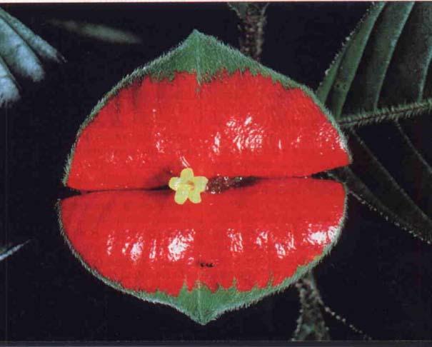 Το λουλούδι που μοιάζει με μεγάλα κόκκινα χείλη (2)