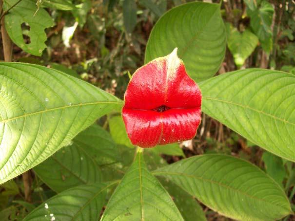 Το λουλούδι που μοιάζει με μεγάλα κόκκινα χείλη (6)