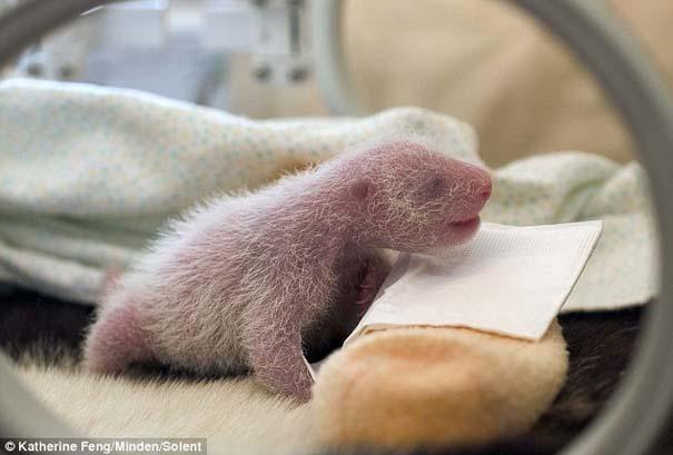 Η μαμά Panda και το μικροσκοπικό νεογέννητο... (2)