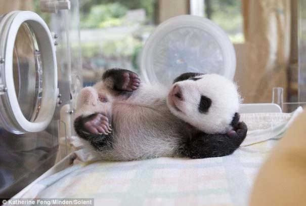 Η μαμά Panda και το μικροσκοπικό νεογέννητο... (4)
