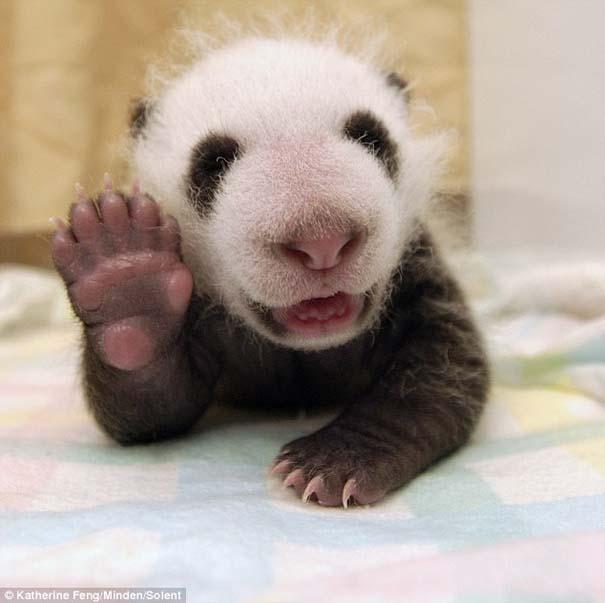 Η μαμά Panda και το μικροσκοπικό νεογέννητο... (5)