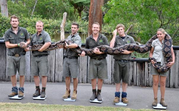 Πως ζυγίζονται τα μεγάλα φίδια   Φωτογραφία της ημέρας