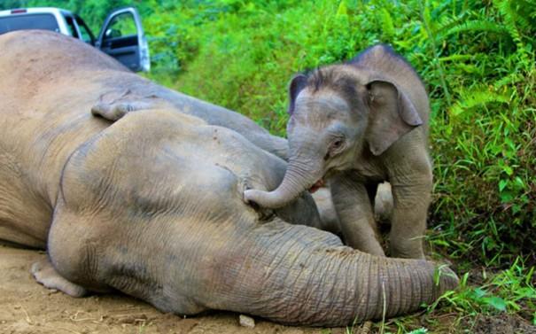 Ελεφαντάκι θρηνεί τη μητέρα του   Φωτογραφία της ημέρας
